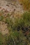 Cyperus bulbosus