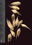 Dendrocalamus strictus