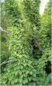 Dioscorea hispida