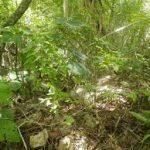 Dioscorea-sagittifolia