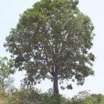 Diospyros melanoxylon