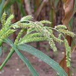Echinochloa crus-galli grains