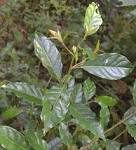 Ehretia laevis