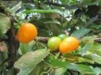 Garcinia xanythochymus fruit
