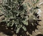 Glossonema boveanum