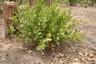 Icacina senegalensis