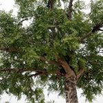 Moringa concanensis