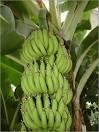 Musa acuminata fruit