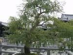 Phyllanthus embilca