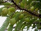 Phyllanthus embilca fruit