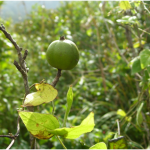 Randia dumetorum fruit