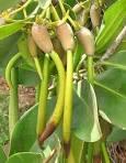 Rhizophora mangle pods