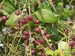 Salvadora persica fruit
