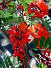 Sesbania aegyptiaca flowers