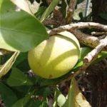Sideroxylon obtusifolia fruit
