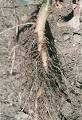 Sonchus oleraceus root