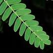 Tamarindus indica leaves