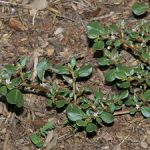 Trianthema portulcastrum