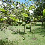 Vangueria edulis fruit