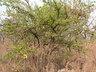 Ximenia caffra