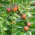 Ziziphus joazeiro fruit