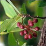 Alangium lamarckii fruit