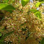 Olea dioica flowers