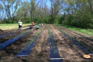 Volunteer planting tomatoes.