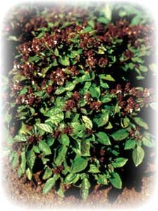 picture of Magical Michael basil plant