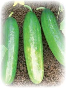 picture of Cucumber 'Diva'