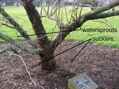 picture of a tree in the landscape showing suckers and watersprouts