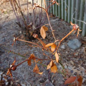 picture showing rose cane dieback on the plant.