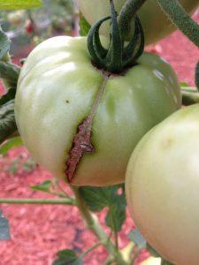 Photo of a tomato showing Tomato skin cracking.