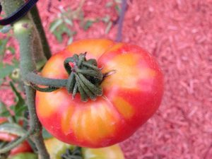 Close-up of a tomato on the vine showing Tomato yellow shoulder.