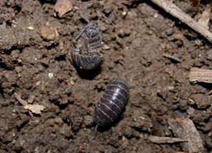 Pillbugs roll in a ball when disturbed. Photo credit: John Obermeyer/Purdue Entomology