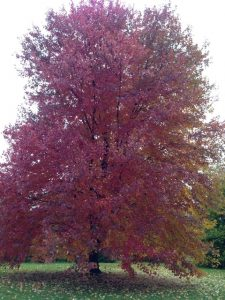 Red maple tree in fall color. Photo credit: Rosie Lerner/Purdue Horticulture & Landscape Architecture