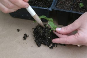 Photo showing a closeup of someone Transplanting Seedlings. Photos by Joan Crow/Purdue Agricultural Communications