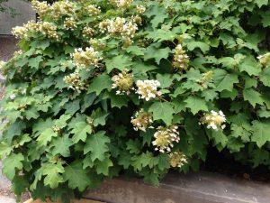 Photo of Oakleaf Hydrangea plant in bloom.  Photo Credit: Rosie Lerner / Purdue Extension