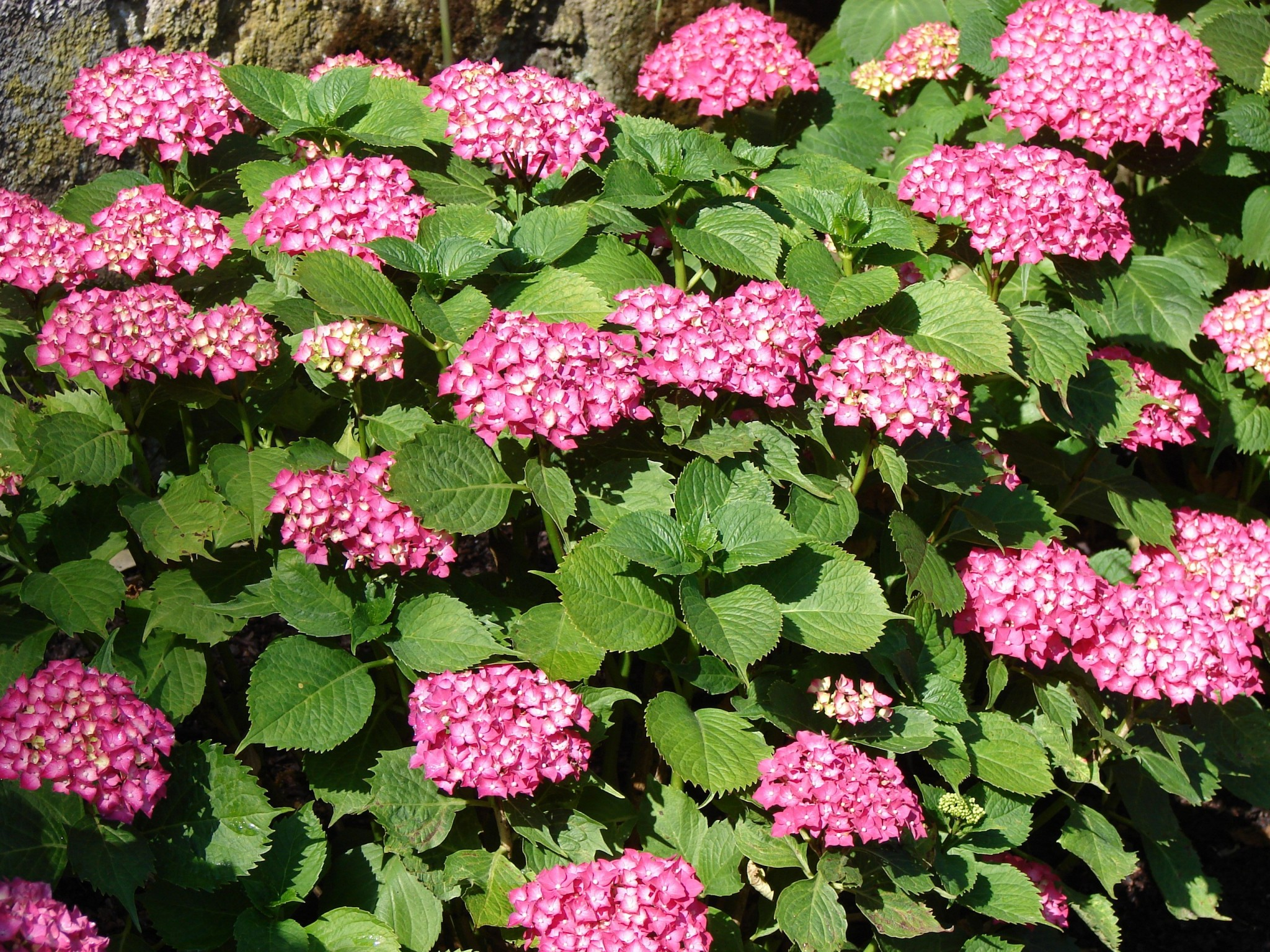 Hydrangea Popular But Confusing Indiana Yard And Garden Purdue