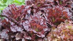 Photo showing Red Leaf Lettuce. Photo credits: Rosie Lerner/Purdue Horticulture