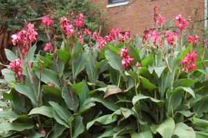 Photo of Dahlias plant with caption saying Dig cannas after first frost.