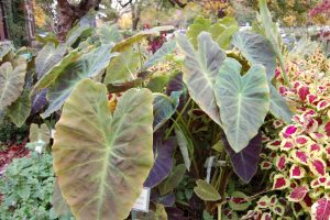 Photo of Dig Elephant Ear/Taro before frost.