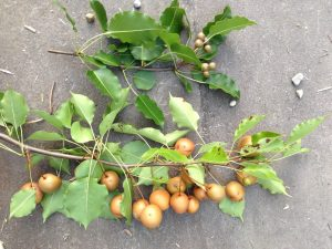 Photo of branches showing examples of Variation in Fruit Size on Seedling Callery Pears