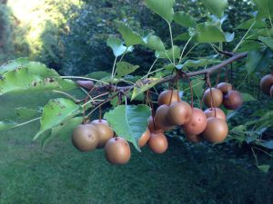 Photo of Large Fruit on Seedling Callery Pear Tree