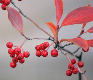 Aronia (chokeberry) fall color and fruit. Photos courtesy Purdue University Arboretum