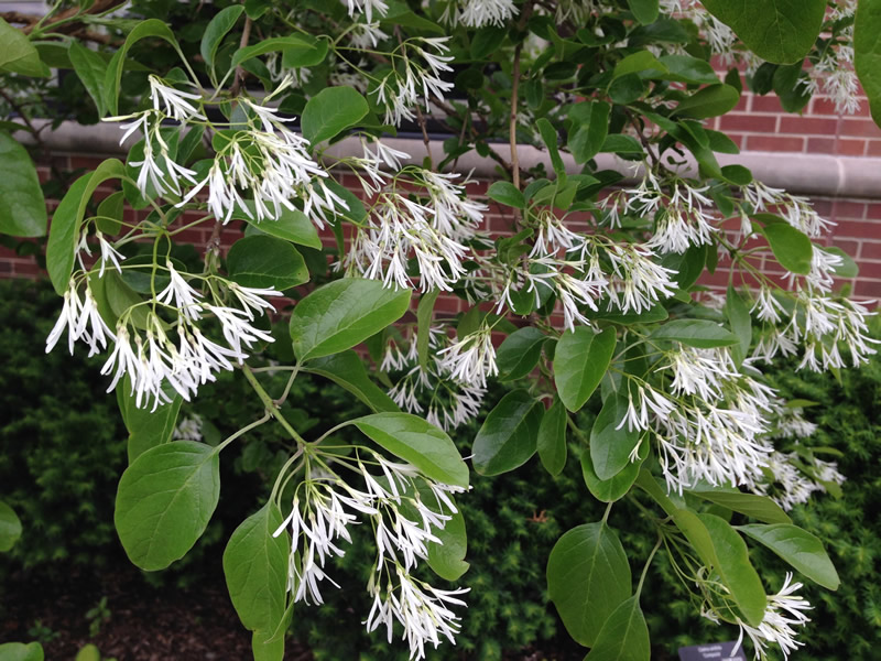 Some shrubs best pruned after flowering indiana yard and garden fringetree in bloom photo credit rosie lerner purdue mightylinksfo