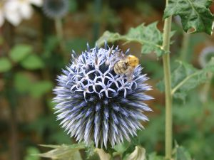Photo of Bee collecting pollen on globe thistle (Echinops) flower