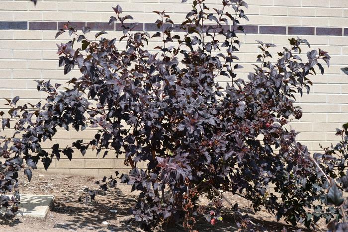 Neil Sperry: Púrpura juega bien con otros en el jardín | Estrella-Telegrama de Fort Worth