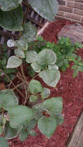 Powdery mildew on lilac leaves. Photo credit: C.B.
