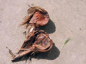 Rotten Ornamental Allium Bulb